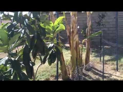High Density Espalier Gardener - Tour of my Garden 03-08-15