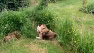 Beagles: Cute Clean Beagle Dogs Roll In The Grass To Get Stinky Smells Rubbed In