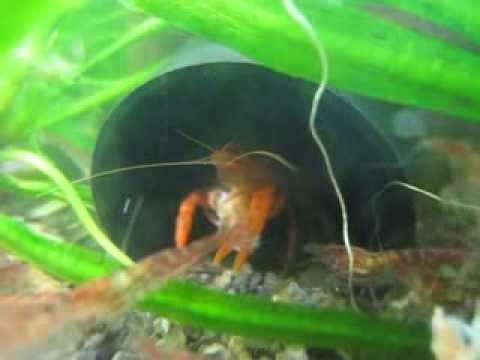 CPO Mexican Dwarf Orange Crayfish - In Cave
