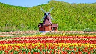 北海道湧別町といえば春のチューリップ畑が有名です。かみゆうべつチュ...