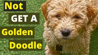 Never Get a Goldendoodle Before watching these 8 things