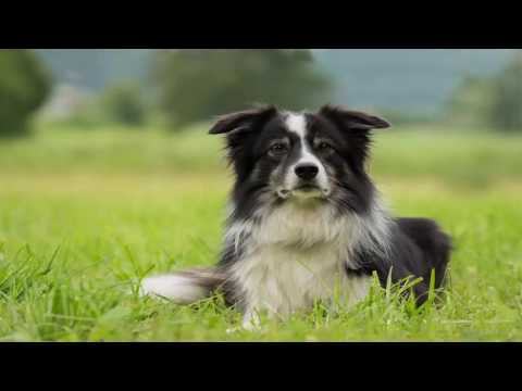 Border Collie most intelligent working dog  Documentary
