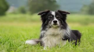 Border Collie most intelligent working dog  Documentary