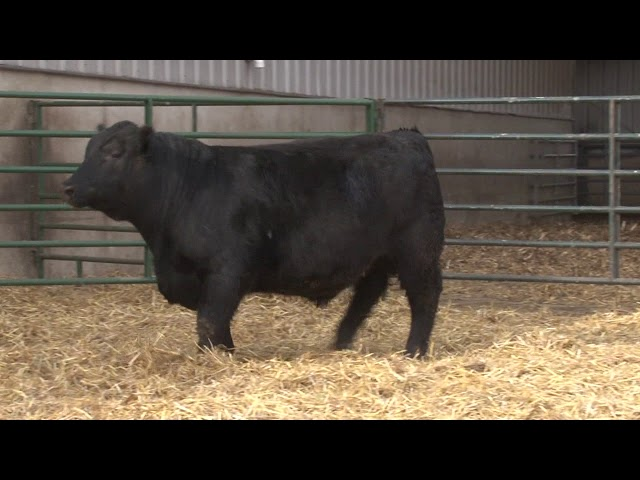 Schiefelbein Angus Farms Lot 58