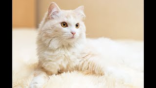 The Turkish Angora Cat