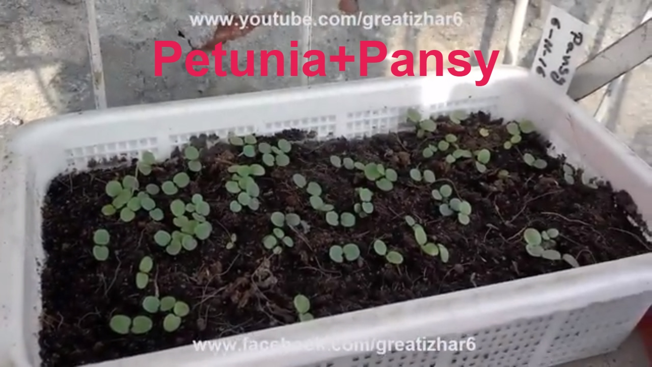 When to plant petunia on seedlings in 2018 according to the lunar calendar 40