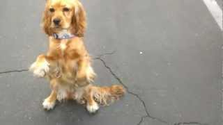 Very Cute Puppy 10 month old female Cocker spaniel training to sit pretty