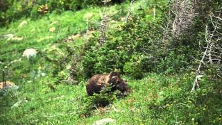 Grizzly in Glacier National Park foraging for food.