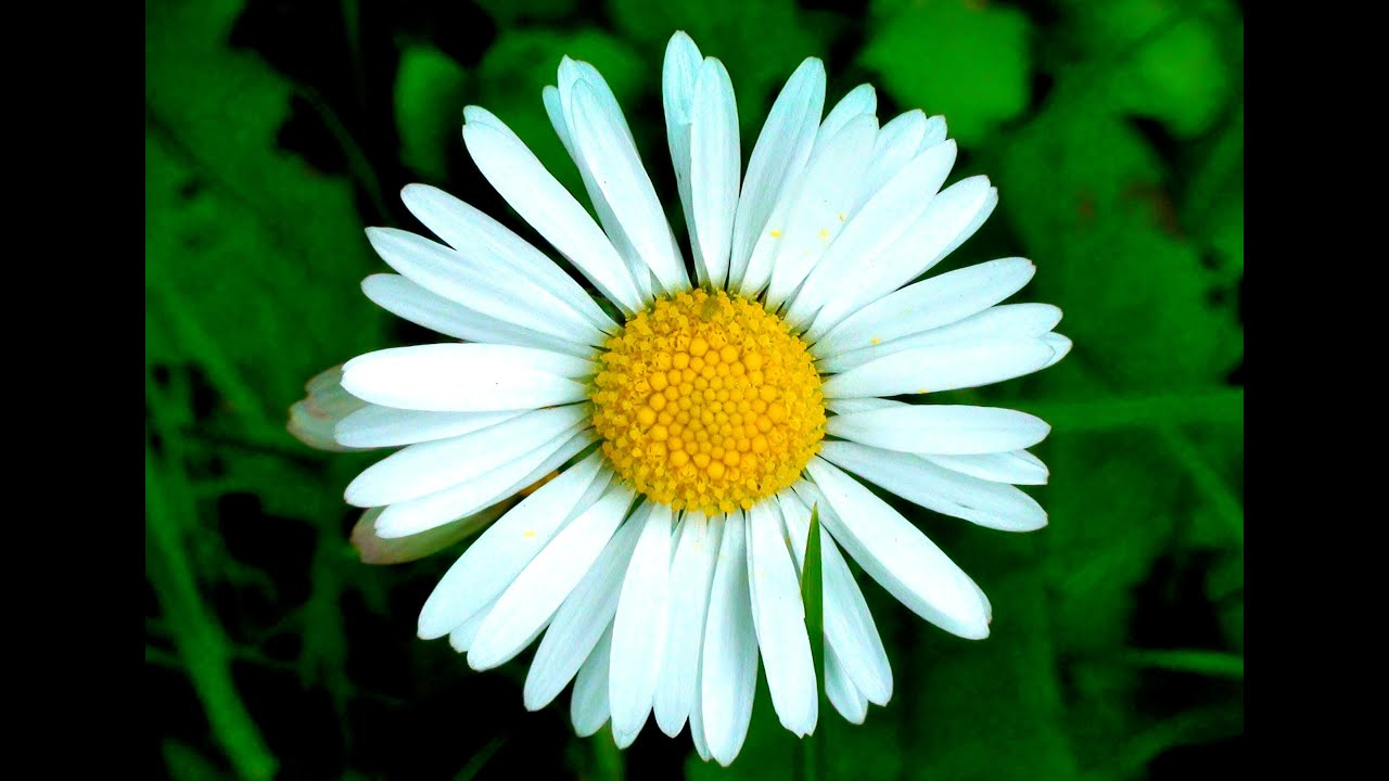 blooming daisy flowers timelapse, Beautiful flower