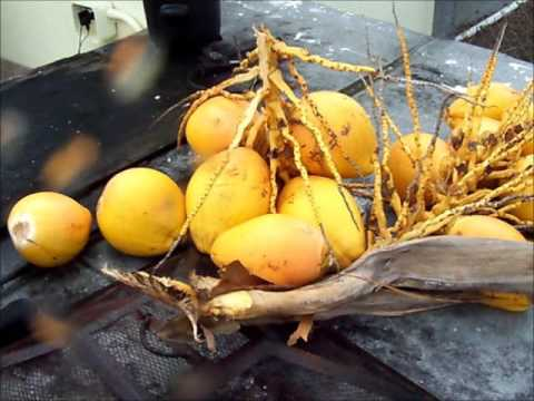 Coconut Water Extraction