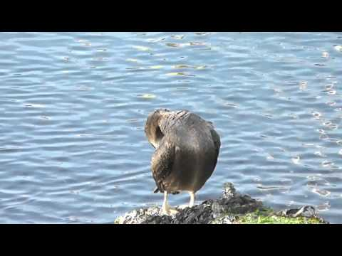 European Shags (9th December 2011)