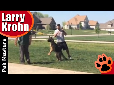 Human Aggressive German Shepherd ATTACKS TRAINER  Part 2