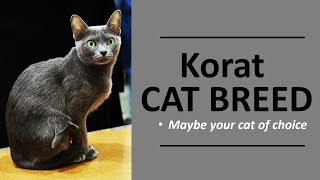 What type of cat is right for you? Check out the Korat Cat Breed (Updated)