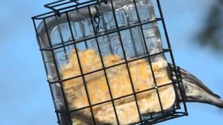 Yellow Rumped Warbler On Suet Feeder