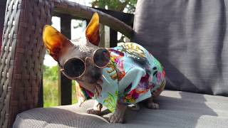 Tough guy Sphynx cat Rango is enjoying the cool time in Norway / DonSphynx /