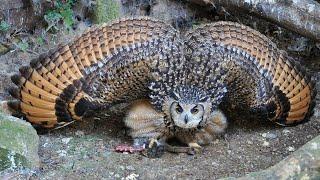 Самые большие совы в мире!