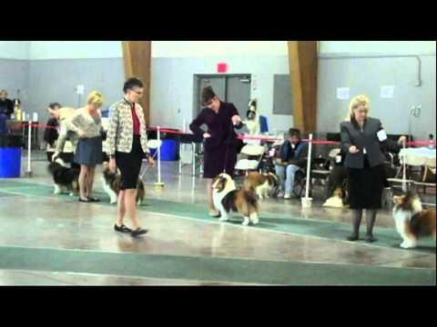Dogs - Sac Sheltie Club Conformation, 4/1/12