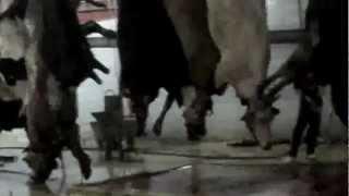 Repeat youtube video Mezbaha Gerçeği - Tuzla 2012