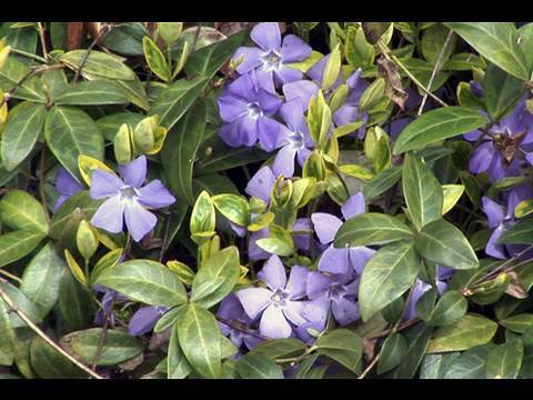 Using Vinca in the Garden