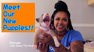 Introducing The Litter | American Staffordshire Terrier Puppies