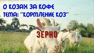 кормление коз.  зерно