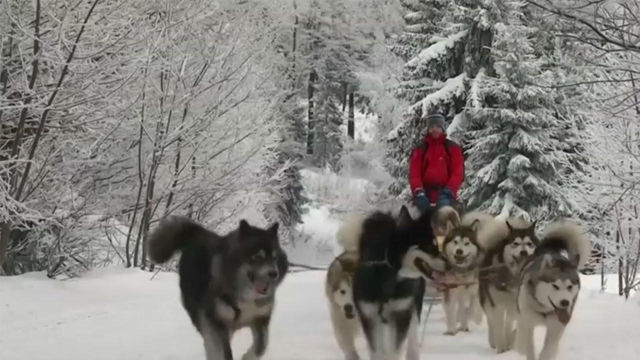 Czech dog sledge race no mean feat