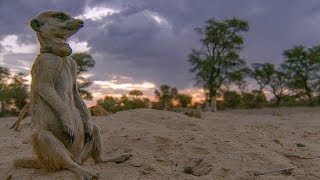 Meerkats are Caught in a Dust Storm | BBC Earth