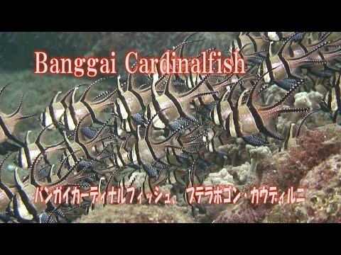バンガイカーディナルフィッシュ Banggai Cardinalfish Pterapogon kauderni