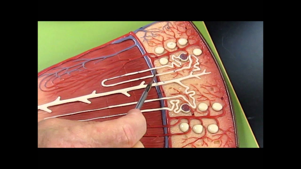 Anatomy- Kidney Model - YouTube