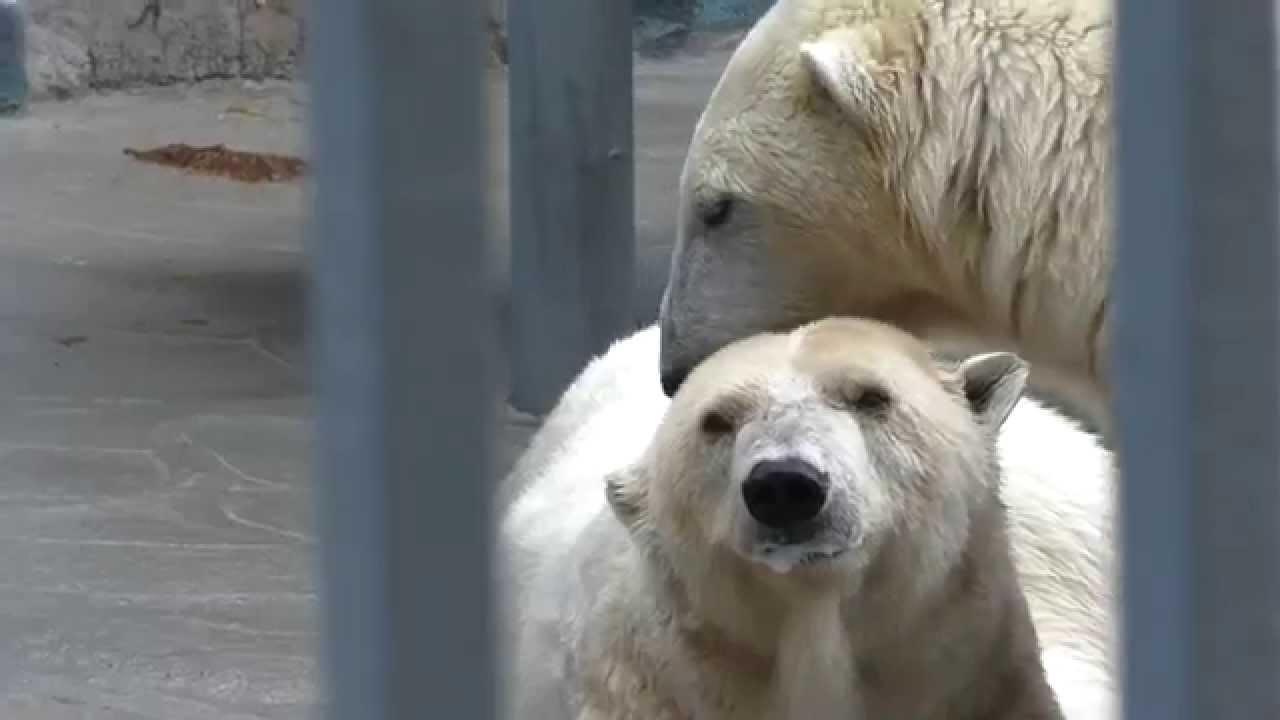 Polar bear ears
