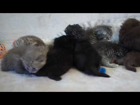 Британским котятам 3 недели, рожд. 10 сен.2017