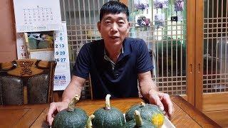 최고로 맛있는 단호박 재배방법과 수확한 단호박 쪄서 먹…