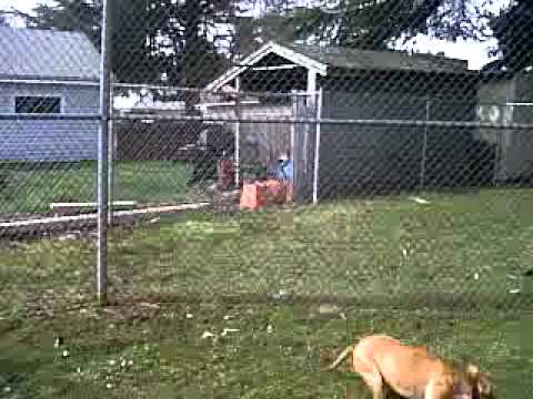 Pitbull Climbs Fence Youtube