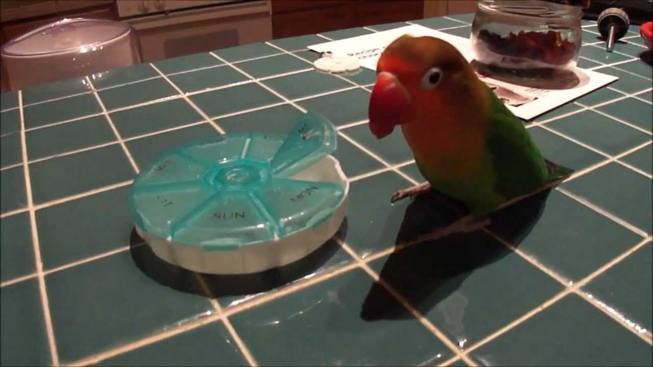 Toys For Bird : Creative foraging toy for a lovebird youtube