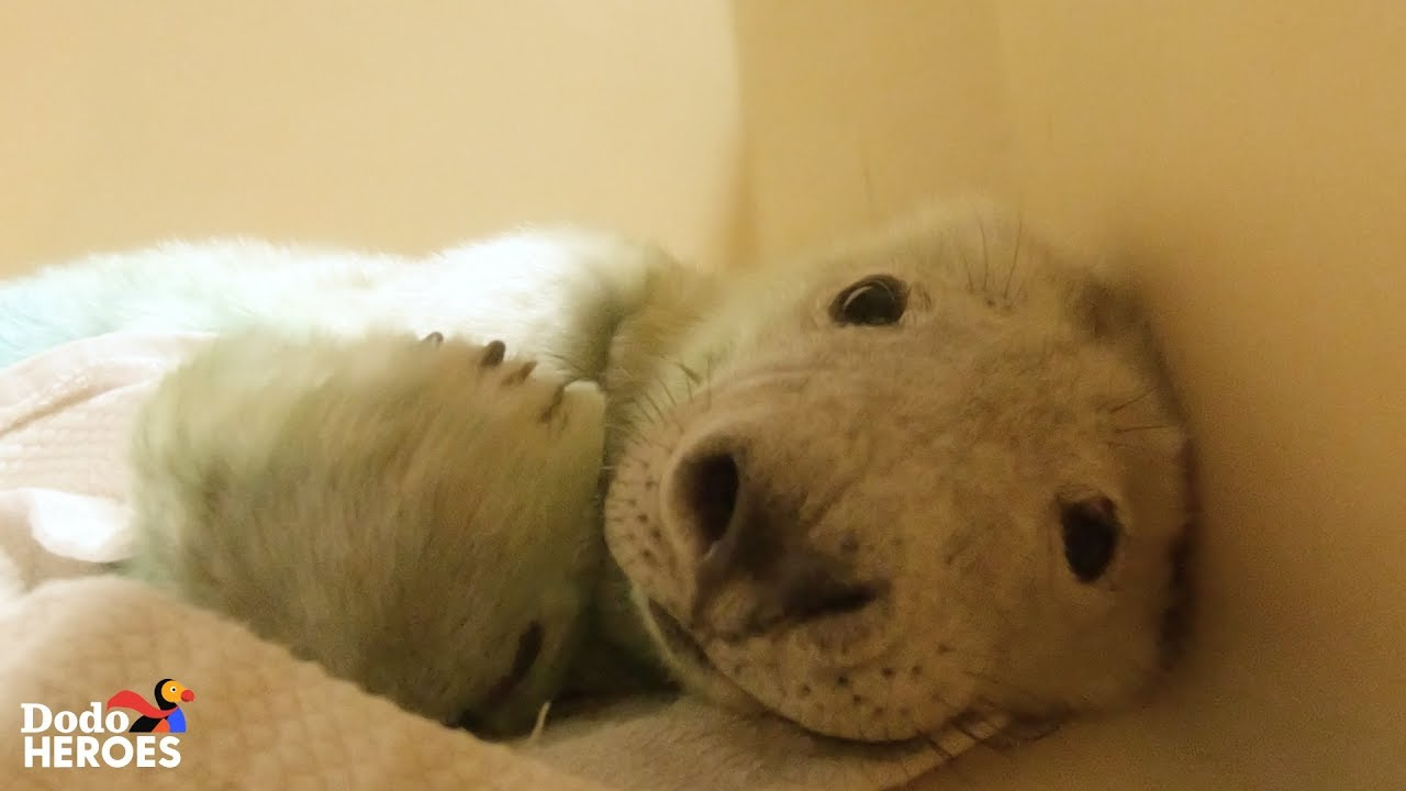 Watch This Tiny Baby Rescue Seal Grow Up and Swim Back to the Wild! | The Dodo Heroes Season 2