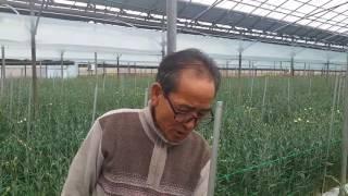 황금알농법 카네이션 농장