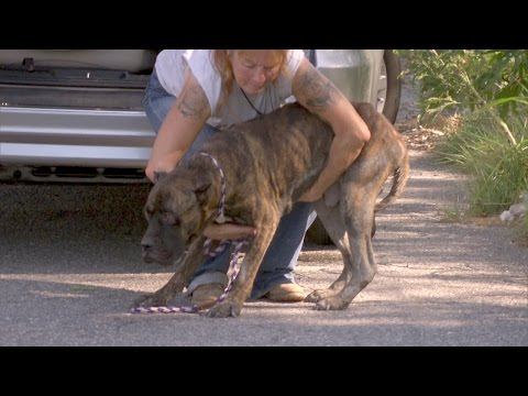 A Starving Mastiff Needs Help