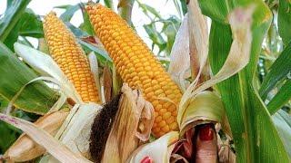 Мексика будет импортировать больше кукурузы из США (новости)