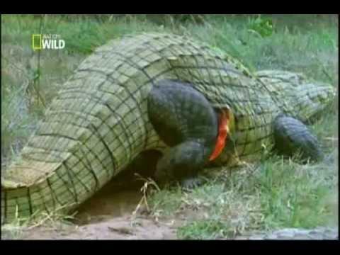 Ataque Animal Ep 4 Crocodilo - YouTube