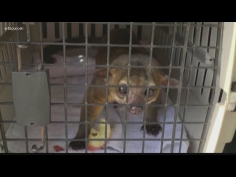 Florida man attacked by a kinkajou after feeding it watermelon