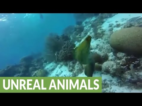 Huge moray eel loves diver and his camera
