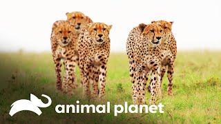 Cinco guepardos machos se unem para caçar uma zebra | Os reis da selva | Animal Planet Brasil