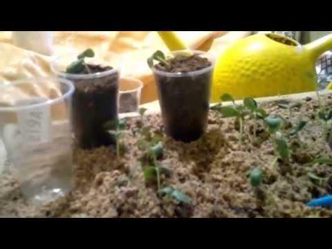 Чем подкормить огурцы в открытом грунте, если желтеют