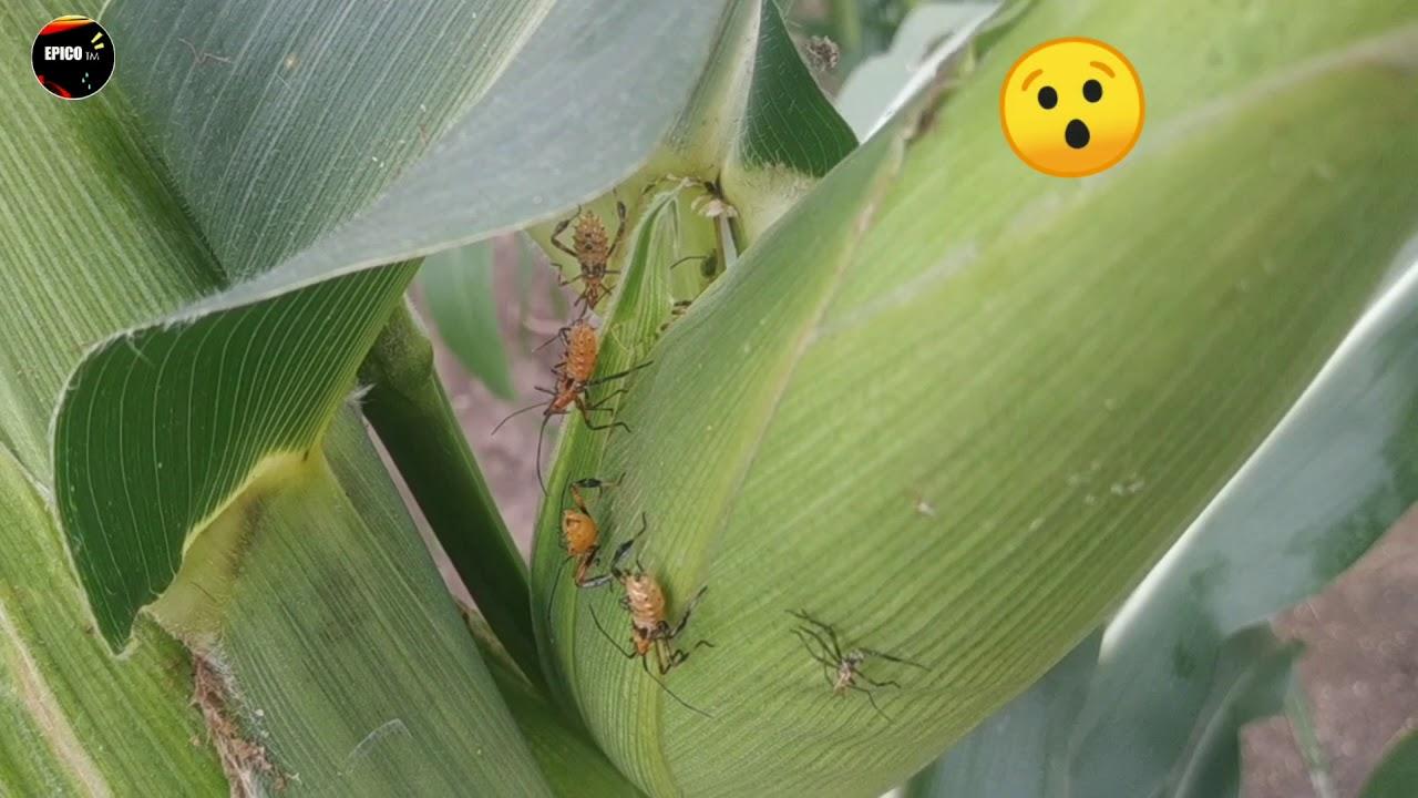Animales muy EXTRAÑOS 😯!! Que absorben maíz... | EPICO ™
