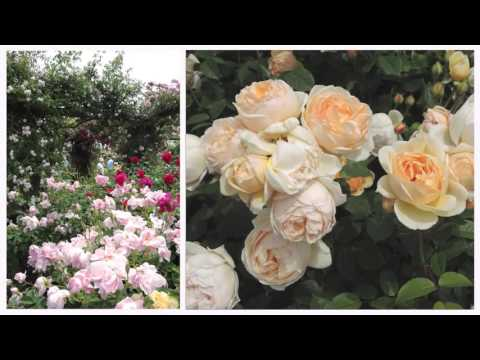 A visit to an English Rose Garden: The David Austin Garden Center