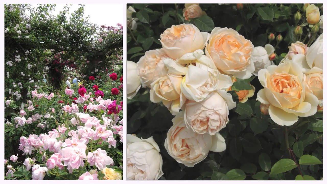Charming A Visit To An English Rose Garden: The David Austin Garden Center