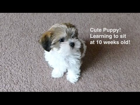 Adorable Puppy Learning to Sit at 10 weeks old! - Duration: 1:12.