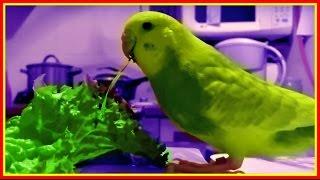 Волнистики едят листья салата. Тоша дрессированный, а Лайма дикарка кусючая #Птицы
