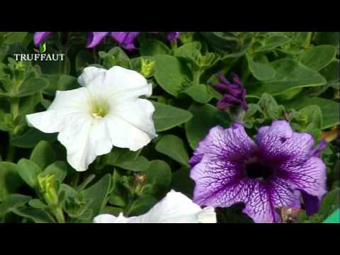 Le p tunia vari t s plantation entretien jardinerie for Plantation de fleurs