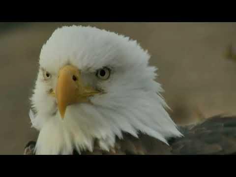 Decorah Eagles,Parents At Y Branch Nest1 & Closeup 1/19/18